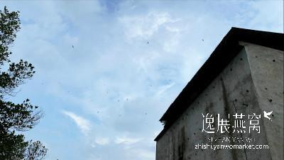 金丝燕盘旋在燕屋外