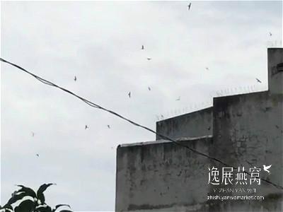 金丝燕生态习性