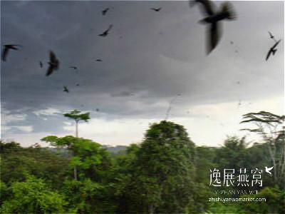 金丝燕生态习性12