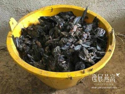 金丝燕种类19
