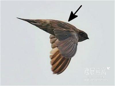 金丝燕种类29