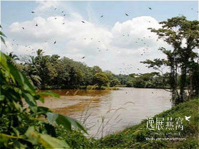 金丝燕种类32