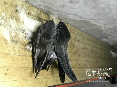 金丝燕种类34