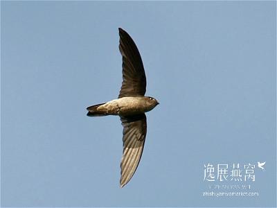 金丝燕种类36