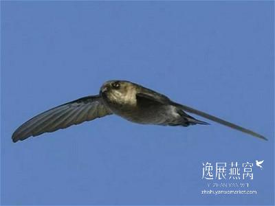 金丝燕种类37