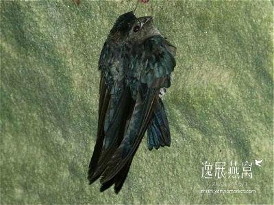 金丝燕种类41