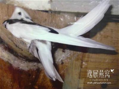 金丝燕种类42