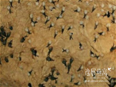 金丝燕种类45