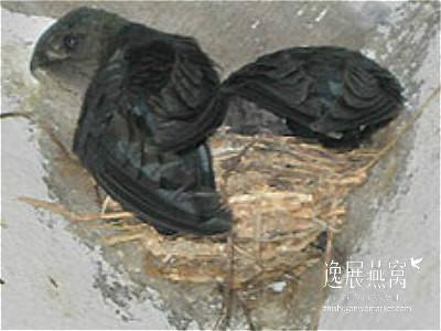 金丝燕种类46