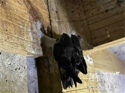 金丝燕子筑巢