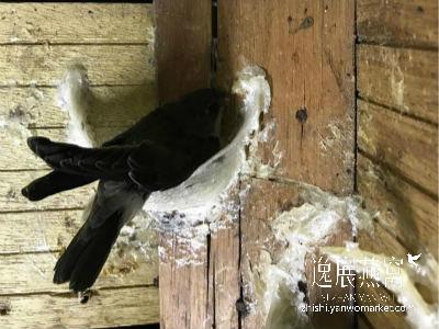 燕屋内的毛燕