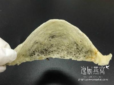 发霉毛燕lumut1