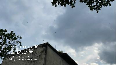 金丝燕在燕屋外飞行
