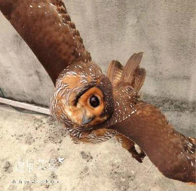 金丝燕天敌:猫头鹰