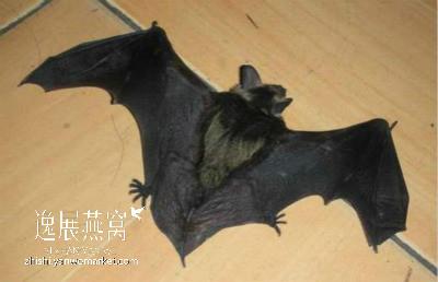 金丝燕天敌:蝙蝠