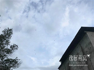 金丝燕种类33