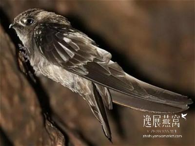 金丝燕种类35