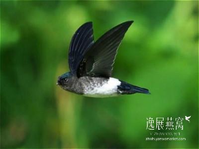 金丝燕种类40