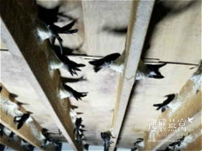 金丝燕种类44